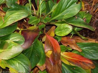 Bergenia w brązowych jesiennych barwach ...