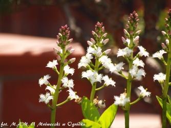 Bobrek - kwiat