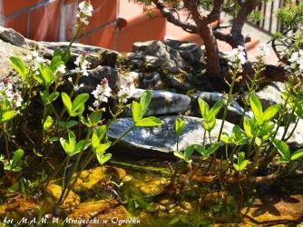Bobrek trójlistkowy