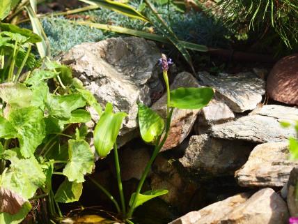 Pontaderia sercolistna